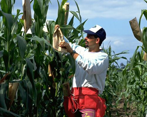 Mise en poche des fleurs mâles de maïs pour hybridation par fécondation croisiée