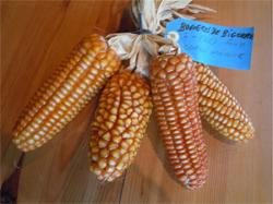 Épis du maïs Bagnères de Bigorre