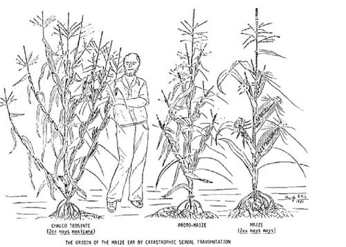 dessin montrant l'évolution de la structure de la plante de la téosinte au maïs actuel