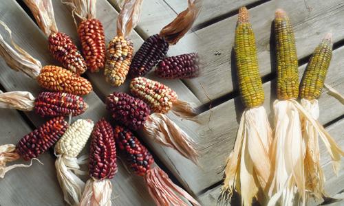 Exemples d'épis de maïs mexicains anciens