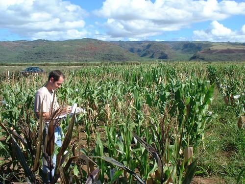 Sélectionneur dans un champ de sélection de maïs