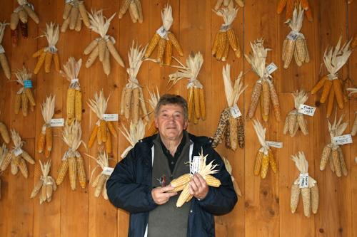 Collection d'épis de variétés de maïs de pays